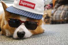 Cool ass Corgi. @Ailene Hicks it looks like me!