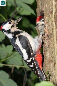 https://www.facebook.com/WonderBirdSpecies/ Great spotted woodpecker (Dendrocopos major); Europe and northern Asia; IUCN Red List of Threatened Species 3.1 : Least Concern (LC)(Loài ít quan tâm) || Gõ kiến nhỏ sườn đỏ; Châu Âu và phía Bắc châu Á; Họ Gõ kiến-Picidae (Woopecker).