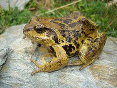 La rana bermeja es una especie típica del bosque atlántico.