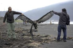 Workers of an environmental corporation hold up a dead marine bird at a beach near Concepcion, Chile, on Monday. Around 1,300 marine birds were found dead and Chilean authorities are investigating the cause, according to local media.