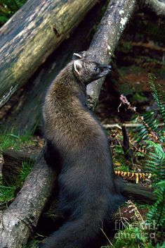 Pin by LV on Fisher Fisher cat, Animals beautiful, Fisher