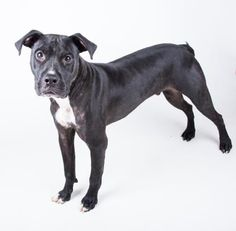 Petango.com – Meet Too, a 1 year 2 months Terrier, Pit Bull / Terrier, Pit Bull available for adoption in DECATUR, GA