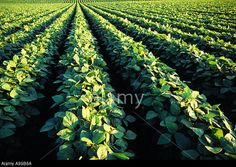 Agriculture - Mid growth soybean field / Iowa, USA. © AgStock Images, Inc. / Alamy