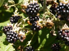 Blackberries of the garden made into lots of pots of jams.