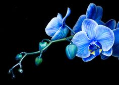 Orchid Flower Wallpaper THIS Wallpaper Orchid Pictures Wallpapers Wallpapers) Blue Orchid Flower, Moth Orchid, Blue Orchids, Blue Roses, Exotic Flowers, Blue Flowers, Beautiful Flowers, Orange Orchid, Black Orchid