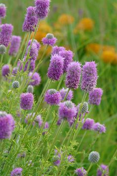 Purple Prairie Clover (Dalea purpurea)  great native to prevent soil erosion and to fix nitrogen in the soil