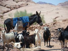 See 29 photos from 331 visitors to Sinai Desert. Pilgrimage, Memoirs, Animal Kingdom, Nonfiction, Serenity, Goats, The Book, Deserts, Horses