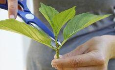 Hortensien durch Stecklinge vermehren