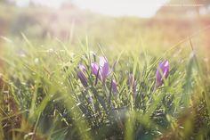 Die Herbstzeitlosen blühen wieder…Marion's Blog | Marion's Blog