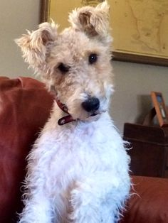 Oliver the Wire Fox Terrier