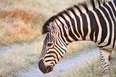 Burchell's Zebra, Xakanaxa, Botswana by Richard Ainsworth