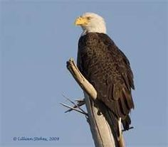 Bald Eagle - We have a pair of the that nest on our point