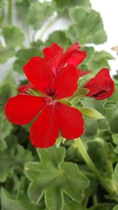 Photobucket - Little red flowers