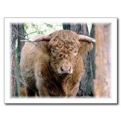 Highland Bull Postcards