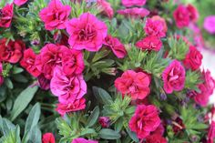 Tried & True Sweet Chimes Cherry calibrachoa produces eye-catching double blooms in a rich burgundy hue.