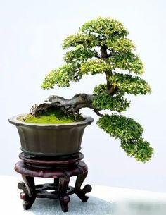 20 Chinese Sweet Plum Ideas Bonsai Bonsai Tree Bonsai Garden