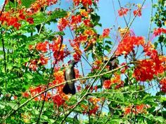 kolibrie in krere krere struik