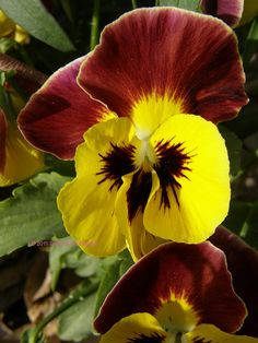 Maroon and Gold pansies, for my sundevils of course!