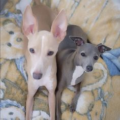 Italian Greyhounds in love with them