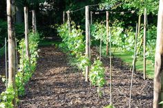 "A small ""garden"" vineyard with Marechall Foch, Solaris and some new Johanniter grapes. Backyard Vineyard, Grape Vineyard, Backyard Plan, Backyard Landscaping, Aqua Farm, Grape Trellis, Urban Farmer, Garden Yard Ideas, Growing Vegetables"