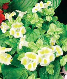 Lemon Drop Torenia
