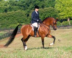 Champion halter & hunter Egyptian Arabian stallion The Bandera
