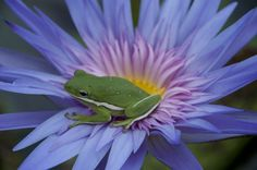 Tiny green frog on a purple - pink Waterlily with yellow center:  This is a color wheel Triad:)