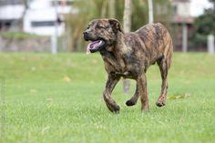 Cão de Fila de São Miguel / Cao/Chien de Fila de Sao Miguel / Saint Miguel Cattle Dog / Azores Cattle Dog