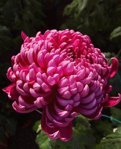 Zinnias, Chrysanthemums, Dahlias, Mums The Word, Garden Gazebo, Spring Is Here, Floral Bouquets, Topiary, Dream Garden