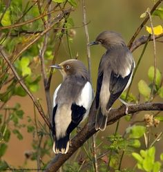 White-shouldered Starlings from Asia, Indonesia All Birds, Little Birds, Bird Perch, Bird Pictures, Starling, Bird Species, Bird Feathers, Beautiful Birds, Animal Kingdom