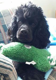 Jayda, cocker spaniel puppy!