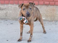 SAFE 5-1-2015 --- Brooklyn Center  PENNY – A1031800  FEMALE, BR BRINDLE, AM PIT BULL TER MIX, 3 yrs OWNER SUR – EVALUATE, NO HOLD Reason PERS PROB Intake condition EXAM REQ Intake Date 03/31/2015