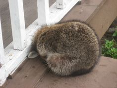 Image result for curled up raccoon