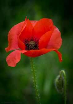 Red dress of poppy By: Theodor Dinulescu