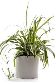 spider plants: They like an evenly moist but well draining soil, allow the top of the soil to dry between watering. Slow down watering a bit during the winter months. It doesn't care for fluoride usually found in tap water (the common cause for brown leaf tips)