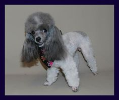 Teacup Poodle Breeders Tiny Toy Poodle Breeder Toronto Ontario Velvet Touch Kennel lines