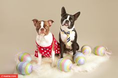 Harley and Penny's Easter Photo #bostonterrier #easter #dogphotography #petphotography #studio #dogsinclothes #kirastackhouse #nuena