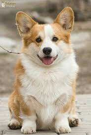 I chose this because I'm going to get a corgi as soon as I graduate:) Mini Corgi, Corgi Dog, Dog In Spanish, Drawing Reference, Animal Drawings, Cute Dogs, Dog Lovers, Corgis, Wildlife