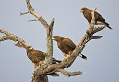 A cast of hawks
