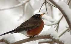Snow Birds ...