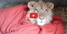 When Lambert the lion's rescuer Vicky Keahey first saw him in June 2014, he looked more like a puppy dog than a mighty lion. He had been Illegally purchased by a family in Texas who didn't want him anymore, he desperately needed help. So Keahey was more than happy to take him to her rescue …