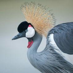 Grey-crowned Crane #bird #animal #wildlife #nature #crane #grey #nikon #photography #portrait #telephoto