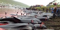 Demand that Denmark abides by EU rules! Stop supporting the grindadrap in the Faroe Islands!