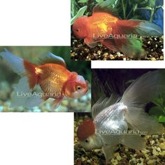 ... creatures on Pinterest Freshwater Fish, Cichlids and Freshwater