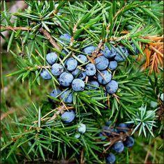 Juniperus communis (ginebró): gàlbuls