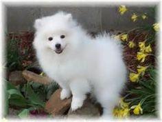 Add photos Beautiful American Eskimo Dog in your blog: