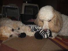 Pampered Poodles 4 U - JoDee - My sister Patty/Ivy-86