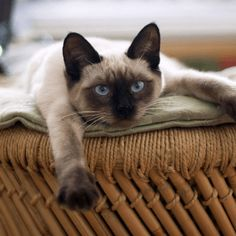 Cats have a bad rap as being standoffish, but that's definitely not true for all of them. These are the friendlist cat breeds. Siamese Kittens, Cats And Kittens, I Love Cats, Cool Cats, Gato Munchkin, Photo Chat, Cat Wallpaper, Cat Names, Kitty Cats