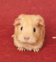 The Guinea Pig Daily: Almond: now this is cuteness overload!