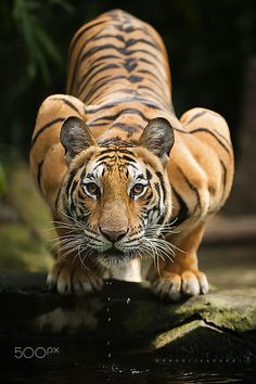 Bengal Tiger | by Hendri Suhandi on 500px